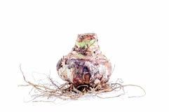 Eine Amaryllis Bulb auf weißem Hintergrund Lizenzfreie Stockbilder