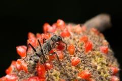 Eine Ameise, die auf rotem FruchtBlumensamen geht und isst Stockfoto