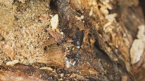 Eine Ameise, die ein Ei hält stock footage