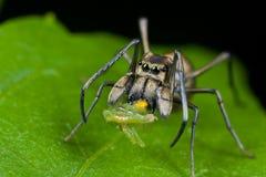 Eine Ameise-mimische springende Spinne mit Opfer Stockfotos