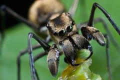 Eine Ameise-mimische springende Spinne mit Opfer Lizenzfreie Stockbilder