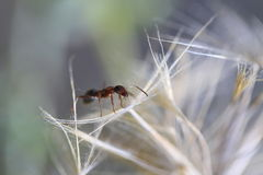 Eine Ameise und ein weißer Löwenzahn Stockfoto