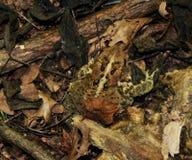 Eine amerikanische Kröte getarnt unter Blattsänfte stockbilder