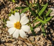 Eine andere Blume im Frühjahr Lizenzfreies Stockbild