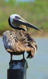 Eine andere Pelikanhaltung Stockbild