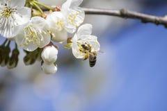 Eine angemessene Biene sammelt Blütenstaub stockbilder