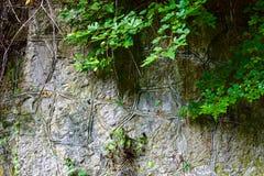 Eine Anlage von Lianen steigt auf einem Gebirgsfelsen ab stockbild
