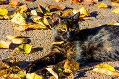 Eine anpirschende Katze, die in einem Fallen liegt, treibt Blätter lizenzfreie stockfotografie