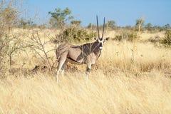 Eine Ansicht der Antilope lizenzfreie stockfotografie