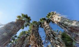 Eine Ansicht der Oberteile Palmen in Form eines blauen wolkenlosen Himmels Stockfoto