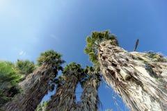 Eine Ansicht der Oberteile Palmen in Form eines blauen wolkenlosen Himmels Stockfotografie
