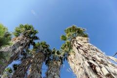 Eine Ansicht der Oberteile Palmen in Form eines blauen wolkenlosen Himmels Stockbilder