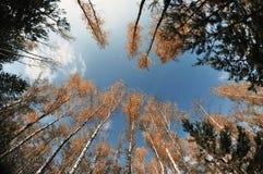 Eine Ansicht des Himmels, Baumstämme von Birken mit gelbem hellem Laub gegen den Himmel Lizenzfreies Stockfoto