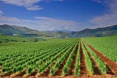 Eine Ansicht eines Weinbergfeldes in Makedonien lizenzfreie stockfotos