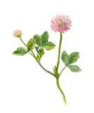 Eine Aquarell gemalte rosa Kleeblume, Stock Abbildung
