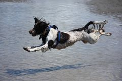 Eine Arbeitsart engish Springerspaniel-Haustierjagdhund, der auf einen sandigen Strand springt Lizenzfreie Stockfotografie