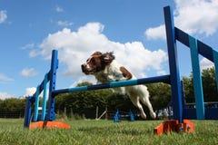 Eine Arbeitsart Spaniel-Haustierjagdhund des englischen Springers, der einen Beweglichkeitssprung springt Lizenzfreie Stockfotografie