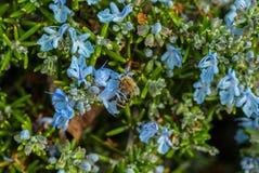 Eine Arbeitskraftbiene, die Blütenstaub für den Bienenstock sammelt Stockbild