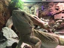 Eine Art Gecko in Vietnam Lizenzfreies Stockbild