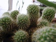 Eine Art Kaktus Lizenzfreies Stockbild