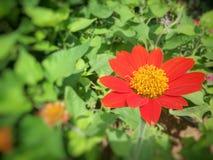 Eine Art Sun-Blume Lizenzfreie Stockfotos