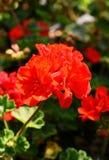 Eine auffallende rote Pelargonie mit einem unscharfen Hintergrund lizenzfreies stockbild