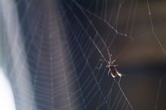 Eine aufgefangene Wanze auf einem Spinnennetz Lizenzfreie Stockbilder