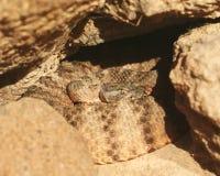 Eine aufgerollte Tiger-Klapperschlange stockfotografie