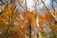 Eine aufwärts Ansicht des Holzes im späten Fall Lizenzfreies Stockfoto