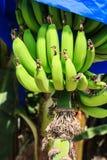 Eine Bananenplantage in Zypern stockbilder