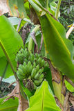 Eine Bananenstaude mit einem Bündel grünen Bananen lizenzfreies stockbild