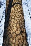Eine Barke der Kiefer Stockfoto