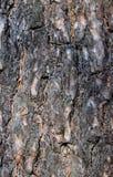 Eine Barke einer Kiefers Stockfotografie