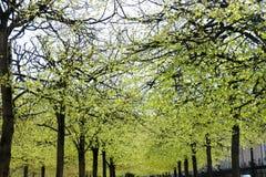Eine Baumreihe im Frühjahr, die in einem Pariser Park blüht Stockfotos