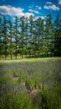 Eine Baumreihe mit einem Lavendelfeld stockfoto