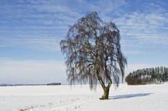 Eine bayerische Birke in der Winterzeit Stockfoto