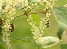 Eine beschäftigte Biene Lizenzfreies Stockfoto