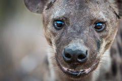 Eine beschmutzte Hyäne, die an der Kamera die Hauptrolle spielt Stockfotos