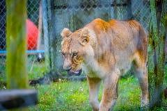 Eine bewegliche weibliche Löwin in Jacksonville, Florida lizenzfreies stockfoto