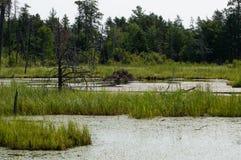 Eine Biberverdammung mitten in einem Sumpf Lizenzfreie Stockfotos