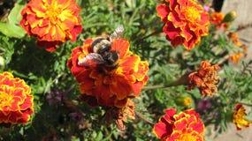 Eine Biene lizenzfreie stockfotos