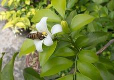 Eine Biene Stockfotos