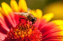 Eine Biene Stockbild