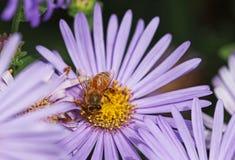 Eine Biene auf Asterblume Stockfotos