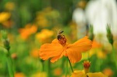 Eine Biene auf Blume stockfotografie