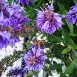 Eine Biene auf Blumen lizenzfreies stockfoto