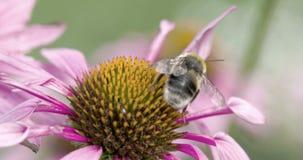 Eine Biene auf die Oberseite des coneflower stock video footage