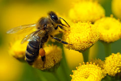 Eine Biene auf einer Blume Stockfotos