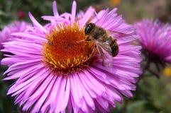 Eine Biene auf einer Blume lizenzfreie stockfotografie