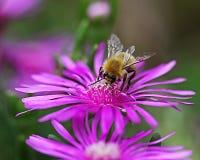 Eine Biene auf einer Blume Lizenzfreies Stockfoto